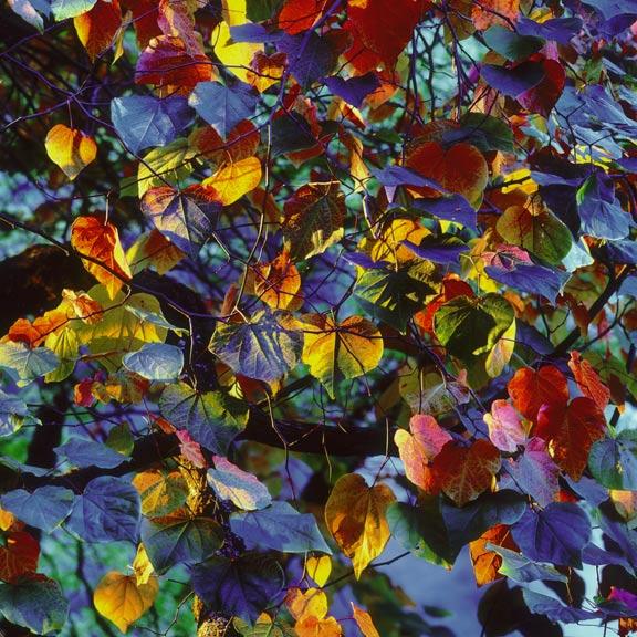 burkett resplendent leaves